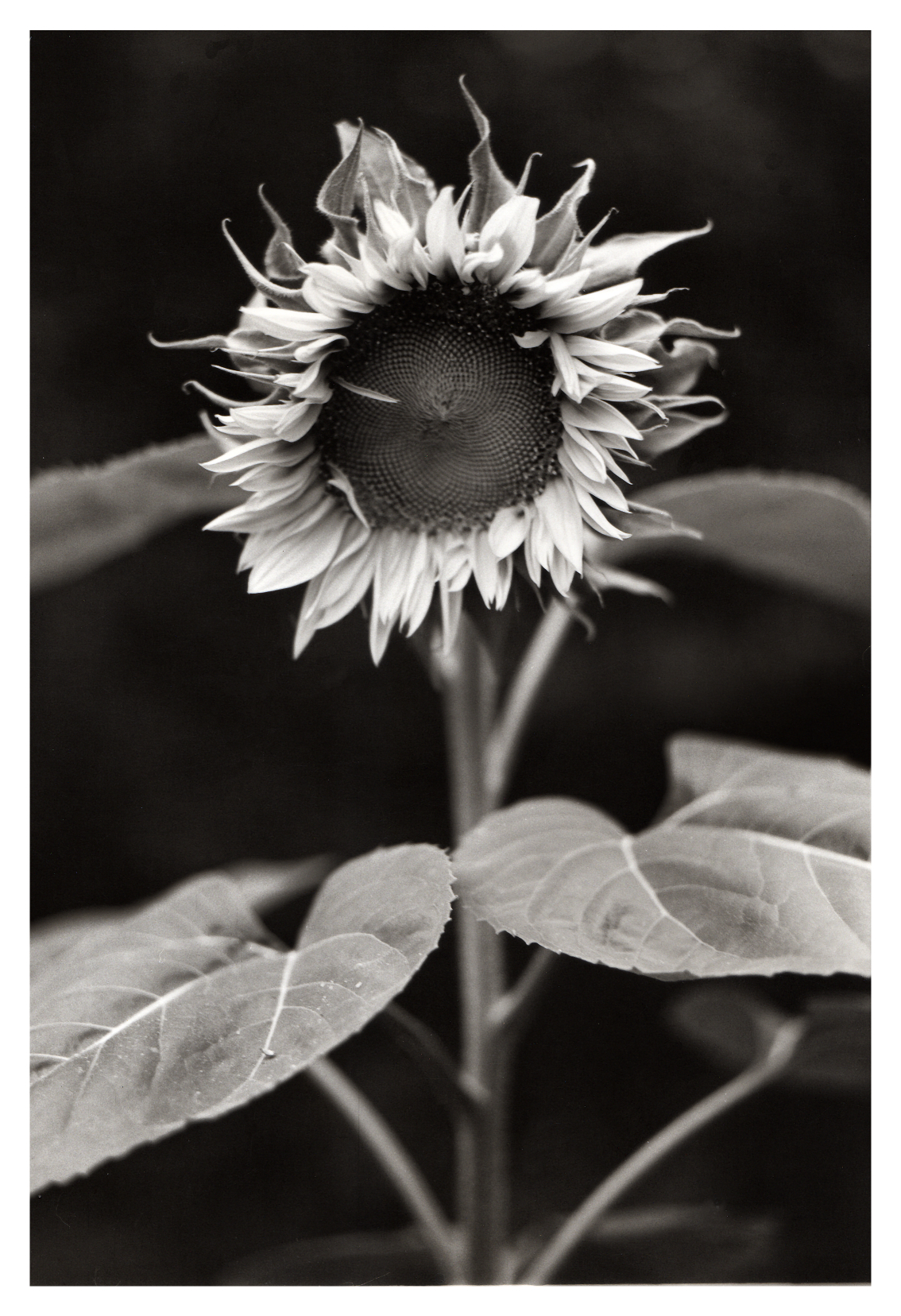 sunflower007